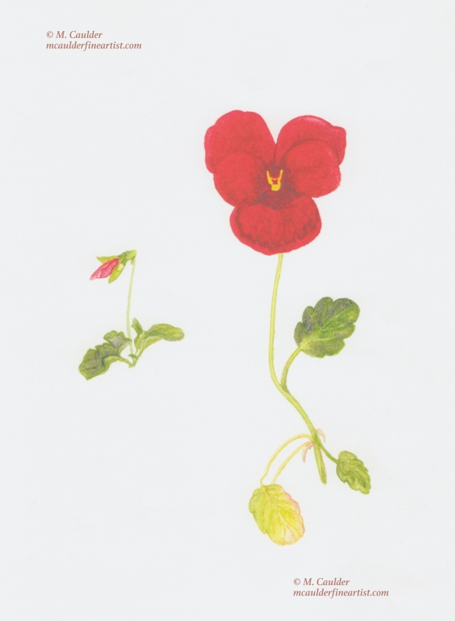 Watercolor sketch of a red pansy (heart's ease) by M. Caulder.