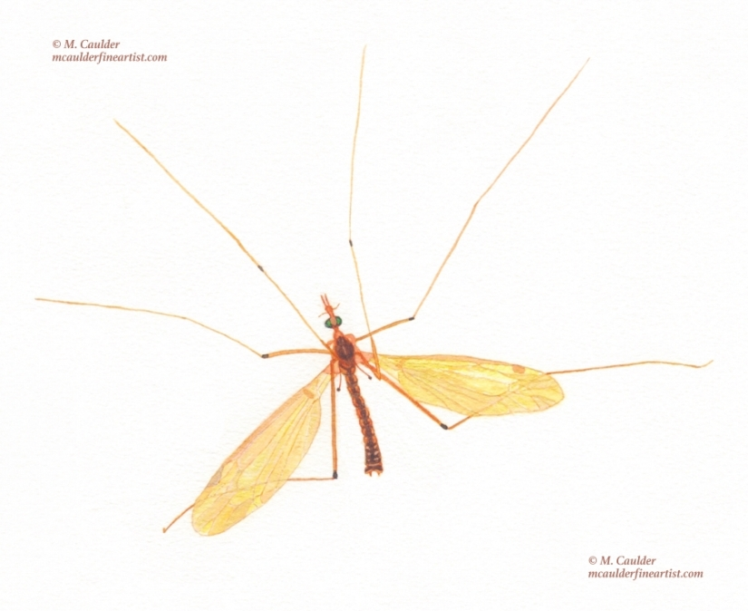 Watercolor sketch of a male crane fly (mosquito hawk) by M. Caulder.
