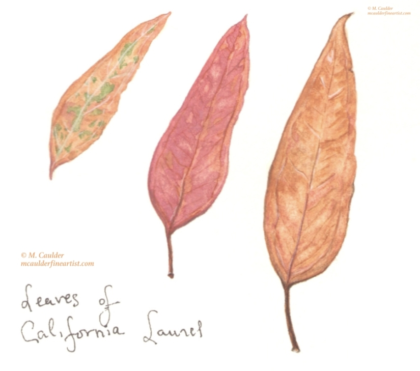 Watercolor painting of dried California laurel leaves by M. Caulder.