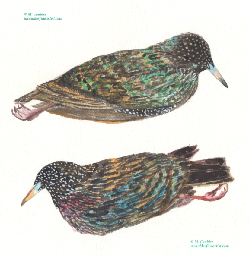 Watercolor painting of a dead Starling by M. Caulder.