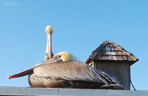 Photograph of two pelicans at Doryman's Wharf by M. Caulder.