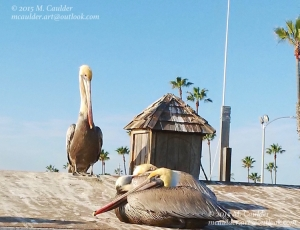 Photograph of three pelicans at Doryman's Wharf by M. Caulder.