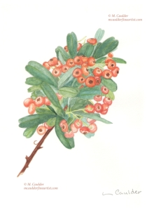 Watercolor sketch of holly berries by M. Caulder.