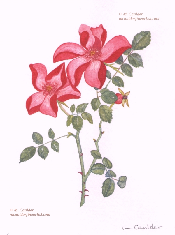 Watercolor painting of star roses by M. Caulder.