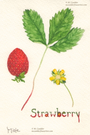 Watercolor sketch of a wild strawberry, leaf, and strawberry blossom by M. Caulder.