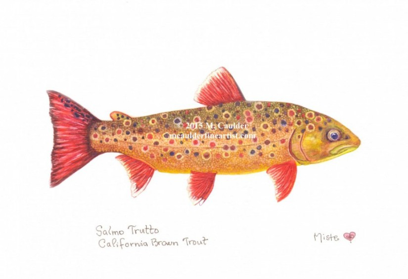 Watercolor painting of a Brown trout by M. Caulder.
