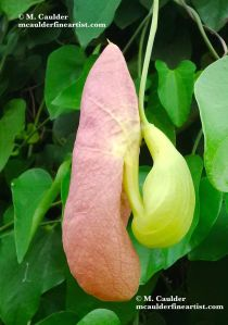 Photograph of Aristolochia gigantea Pelican Flower Pod by M. Caulder.