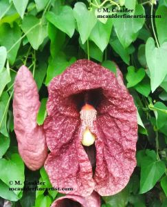Photograph of Aristolochia gigantea Pelican Flower by M. Caulder.