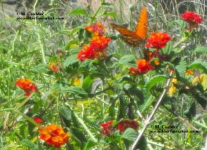 Photography of a Gulf Fritillary butterfly on a flower by M. Caulder.