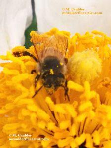 Photograph of a golden honey bee on a golden flower center by M. Caulder.