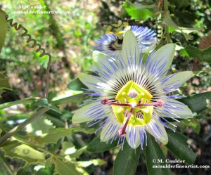 Photograph of a passion flower in bloom by M. Caulder.