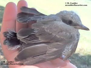 Photograph of a baby bird in a hand by M. Caulder.