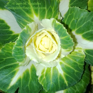 Photography of a cabbage that looks like a rose by M. Caulder.