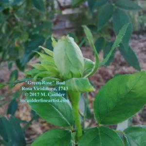 Photograph of a green rosebud by M. Caulder.