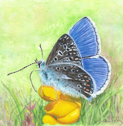 Watercolor painting of a common blue butterfly on a flower by M. Caulder.