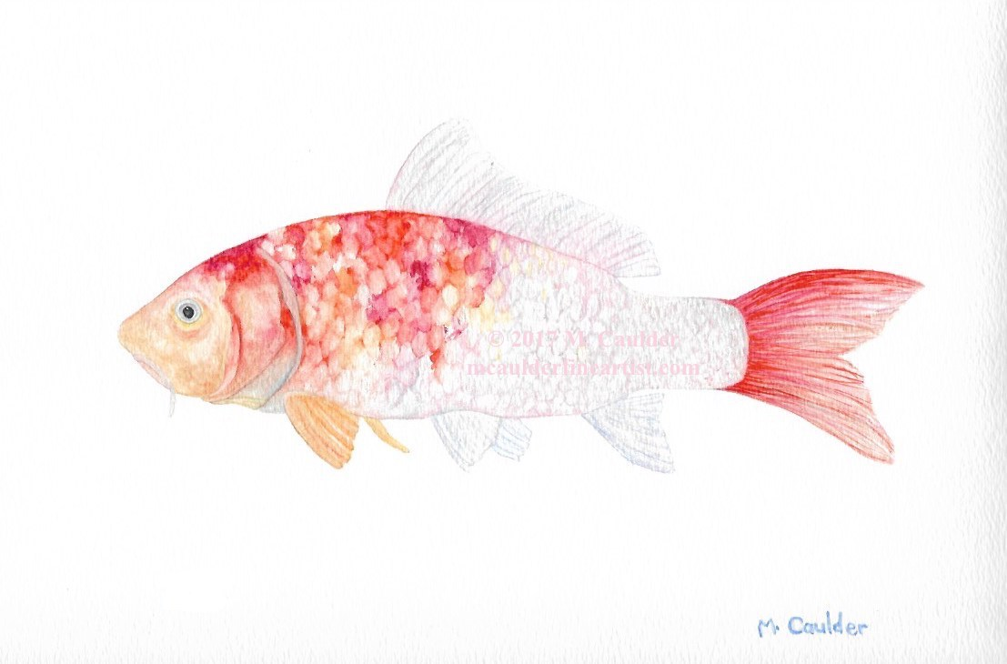 Watercolor painting of a koi by M. Caulder.