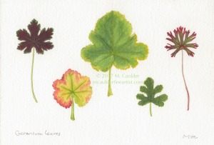 Watercolor study of five geranium leaves by M. Caulder.