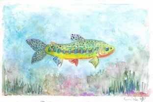 Watercolor study of a rainbow trout by M. Caulder.