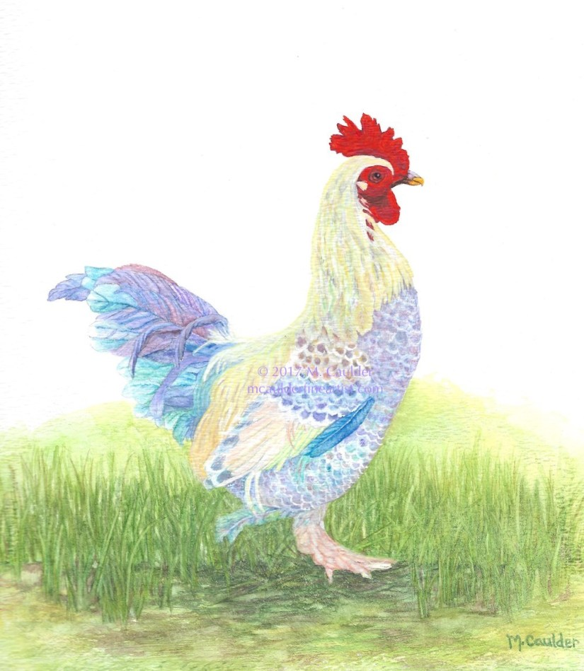 Watercolor painting of a rooster by M. Caulder.