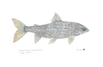 Watercolor painting of a silver lake trout by M. Caulder.